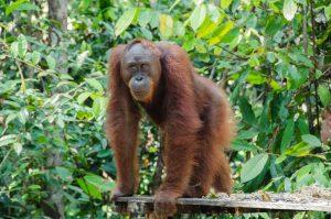 Orangután, Borneo